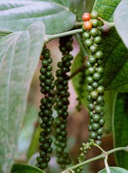 blackpepper_plant