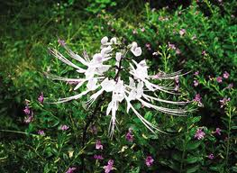traditional medicine herbs